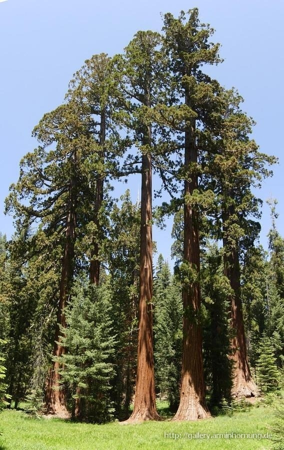 Sequoia Grove panoramic