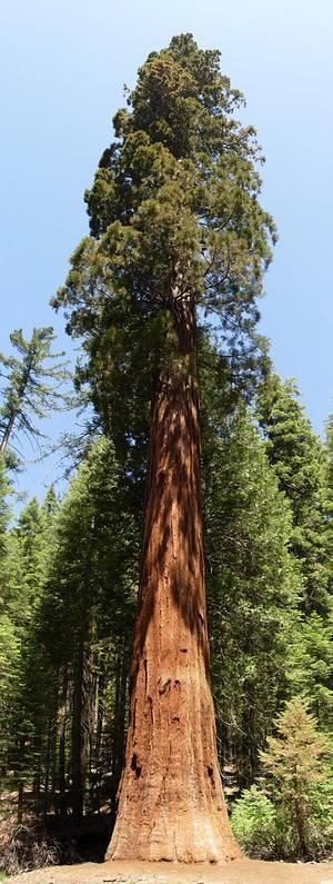 Sequoia Tree panoramic
