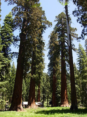 Sequoias in the grove
