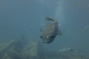 Big Pufferfish